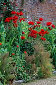 PAPAVER 'BEAUTY of Livermore',Rosa PARKDIREKTOR RIGGERS, PAPAVER SOMNIFERUM. HADSPEN HOUSE Garden, Somerset