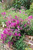 Lathyrus LATIFOLIUS AND Pink PAPAVER SOMNIFERUM HADSPEN HOUSE Garden, Somerset