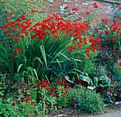 Red BORDER: CROCOSMIA 'LUCIFER', COLUTEA MEDIA, NEMESIA 'FIRE KING', Tropaeolum 'Red WONDER'. HADSPEN Garden, SOMERSET.