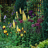 Cottage STYLE PLANTING of ALLIUM, Lupinus AND Iris (Yellow / Purple THEME) IN THE NATIONAL Asthma Campaign GARDEN. CHELSEA