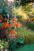 EVENING Light On Red BORDER: CROCOSMIA 'LUCIFER', PAPAVER COMMUTATUM 'LADYBIRD', MISCANTHUS GRACILLIMUS, Carex STRICTA 'BOWLES Golden'. SWINTON LANE, WORCS.