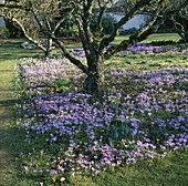 CROCUS TOMMASINIANUS GROWING UNDER Apple TREES IN THE Orchard at LITTLE Court, Hampshire