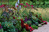 BORDER of Red, Wine AND PLUM: Salvia 'Victoria', AMARANTHUS HYPOCHONDRIACUS 'PYGMY TORCH', BRASSICA OLEARICA 'Red FEATHER', ALTERNANTHERA FICOIDEA, CLEOME 'VIOLET Queen', RICINUS