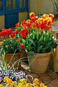 Gold PAINTED Pot with Tulipa 'FIRE Queen' AND TERRACOTTA Pot PLANTED with Tulipa 'APELDOORN ELITE'.