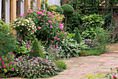 TERRACE with Purple DAGE, HOSTAS, Box TOPIARY AND ROSES 'ARCTIC Sunrise' AND ISPAHAN. RANI Lal'S Garden, OXON