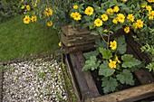 Blühende Zucchini - Pflanze (Cucurbita) in Kompost - Kasten