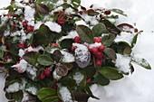 Gaultheria procumbens 'Winter Pearls' (Scheinbeere) im Schnee