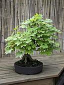 Acer platanoides (Spitz-Ahorn) als Bonsai gezogen