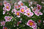 Anemone vitifolia 'Robustissima' (Rebenblättrige Herbst-Anemone)