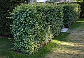 Acer campestre (Feldahorn) als Hecke geschnitten