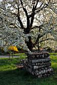 Gestapeltes Holz unter blühendem Kirschbaum (Prunus avium)