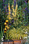 HAKONECHLOA MACRA 'AUREOLA' with Iris 'RAJA' AND Achillea 'ANTHEA' AND Verbascum 'GAINSBOROUGH'. CHANNEL 4'S 21ST CENTURY ST. GARDEN. CHELSEA