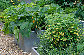 GALVANIZED STEEL CONTAINERS PLANTED with FLOWERING COURGETTES, MELISSA OFFICINALIS AND ARTEMISIA. THE Chef'S ROOF Garden, CHELSEA 1999.