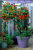 HANGING BASKET of Mixed TROPAEOLUMS & Purple Container with Canna 'ASSAUT' & Salvia COCCINEA 'Lady IN Red' IN Gardening Which / MET. POLICE 'A SAFE HAVEN'. HAMPTON 1999.