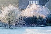 THE Frost COATED BRANCHES of BETULA AND PYRUS SALICIFOLIA 'PENDULA'. THE ABBEY HOUSE, WILTSHIRE.