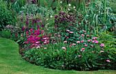LAUNA SLATTER'S Garden, OXON: Pink AND Purple BORDER with Osteospermum 'JUCUNDUM', ALLIUM, Iris AND AQUILEGIA
