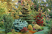 CONIFER BED with ABIES CONCOLOR COMPACTA, ABIES KOREANA AND CRINODENDRON HOOKERIANUM. MR FEARON'S Garden, BARNSLEY, Yorkshire