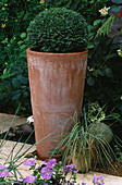 TALL TERRACOTTA Container PLANTED with Box BALL. LISETTE PLEASANCE'S Garden, London