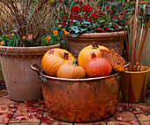 AUTUMN Container: COPPER TUB FILLED with PUMPKINS AND GOURDS, TERRACOTTA POTS Behind FILLED with COTONEASTER FRIGIDUS CORNUBIA, SKIMMIA,CYCLAMEN, Viola PENNY Orange Sunrise 2000.