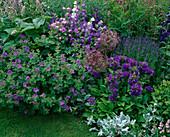 LAUNA SLATTERS Garden, OXFORDSHIRE: Blue BORDER with CAMPANULA GLOMERATA SUPERBA, ALLIUM CHRISTOPHII, CAMPANULA Medium 'BELLS of Holland' AND GERANIUM 'JOHNSONS Blue'