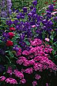 LAUNA SLATTERS Garden, OXFORDSHIRE: Dianthus, CAMPANULA Medium 'BELLS of Holland' , ROSE 'CHARLES De MILLS'