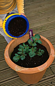 Nancy EARTHING UP 'VALETTA' POTATOES IN A TERRACOTTA Container