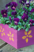 Purple MOTHERS DAY Box PLANTED with Viola