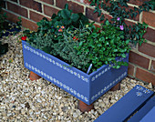 Blue WOODEN Box DECORATED with White FLOWERS PLANTED with Viola Laura CAWTHORNE, Strawberry 'Viva Rosa', THYMUS 'Silver POSIE' AND HELICHRYSUM ITALICUM