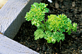 YOUNG PARSLEY IN THE DECORATIVE CHILDRENS POTAGER