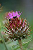 Bumble BEES On A CARDOON FLOWER