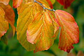 LEAF of PARROTIA Persica, THE PERSIAN IRONWOOD TREE, at THE HARCOURT ARBORETUM, OXFORDSHIRE