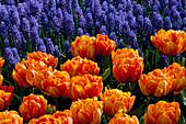Double LATE FLOWERING Tulip 'Orange Princess' AND Muscari ARMENIACUM Keukenhof GARDENS, Holland