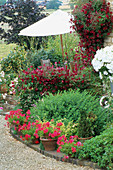 LAUNA SLATTERS Garden, OXFORDSHIRE: POTS PLANTED with IVY LEAFED PELARGONIUM 'Mini Red CASCADE' with White UMBRELLA AND CLEMATIS VITICELLA 'ABUNDANCE'