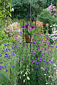 LAUNA SLATTERS Garden, OXFORDSHIRE: Metal STAND with TERRACOTTA Pot PLANTED with SCAEVOLA AND PANSIES, SURROUNDED by CORNFLOWERS AND GALTONIA CANDICANS