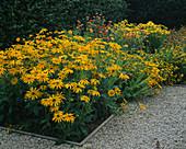 LATE SUMMER BORDER at HDRA RYTON Organic GARDENS, WARWICKSHIRE: RUDBECKIA 'IRISH EYES', LIMONIUM 'Gold COAST', HELICHRYSUM 'KING SIZE Pastel Orange' & RUDBECKIA HIRTA 'PRAIRIE Sun'