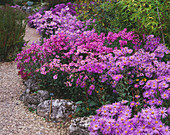 COLOURFUL BORDER of Aster (MICHAELMAS DIASISES) at THE PICTON Garden, WORCESTERSHIRE