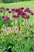 PETTIFERS, OXFORDSHIRE: ALLIUM 'Purple Sensation' , CIRSIUM RIVULARE 'ATROPURPUREUM' AND PERSICARIA AFFINIS 'SUPERBA'