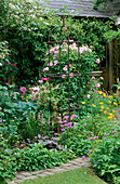 WOODCHIPPINGS, NORTHANTS: Gallica ROSE 'BELLE SANS FLATTERIE' with CLEMATIS 'CARNABY' Behind