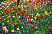 Keukenhof GARDENS, Holland: NATURALISTIC PLANTING of Tulipa IN GRASS