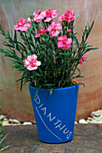 Designer: Clare MATTHEWS: Blue Container with White CHALK WRITING PLANTED with Dianthus (LABEL PROJECT)