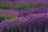 DOWNDERRY NURSERY, Kent: LAVENDER BEDS IN THE WALLED Garden