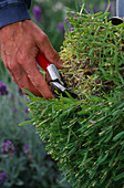DOWNDERRY NURSERY, KENT. SIMON CHARLESWORTH CUTTING an ANGUSTIFOLIA LAVENDER FOLIAGE BACK TO 6-9 INCHES