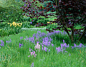 PETTIFERS, OXFORDSHIRE: THE MEADOW with BLUEBELLS AND CORYLUS MAXIMA 'Red ZELLERNUT'