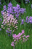 PETTIFERS Garden, OXFORDSHIRE: BLUEBELLS GROWING IN THE MEADOW