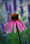 Designer Clare MATTHEWS - Devon Garden - Bumble BEE On Echinacea PURPUREA