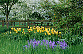 PETTIFERS Garden, OXFORDSHIRE: THE MEADOW with BLUEBELLS AND Yellow Tulipa