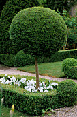 THE ABBEY HOUSE, Wiltshire: Box TOPIARY LOLLIPOP MOPHEAD