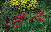 Designer: Clare MATTHEWS: THE WALLED Garden, Devon: Tulipa 'Mariette' AND 'Black HERO' with EUPHORBIA Behind