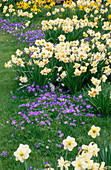 PETTIFERS Garden, OXFORDSHIRE: Anemone BLANDA AND NARCISSUS GROWING IN THE MEADOW
