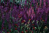 Designer Angel Collins: BORDER with LYCHNIS CORONARIA AND Salvia nemorosa 'Pink Delight'